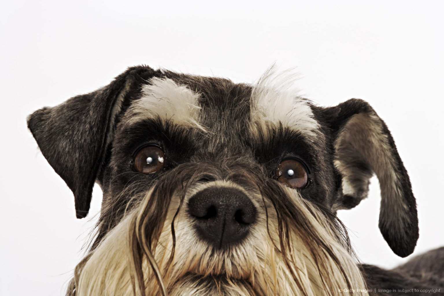 Miniature Schnauzer. Close-up of face. German breed of dog, which name derived from the German word for muzzle. Studio shot against white background. Owned...