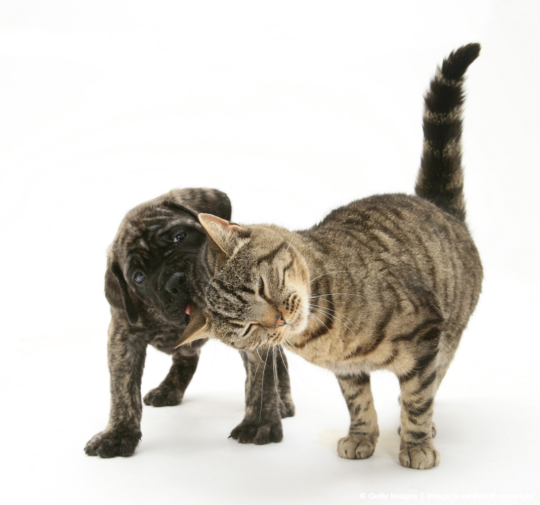 Brindle English Mastiff pup with tabby cat.