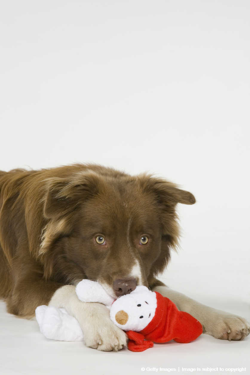Australian Shepherd/Border Collie (Canis lupus familiaris) mixed breed with Christmas toy