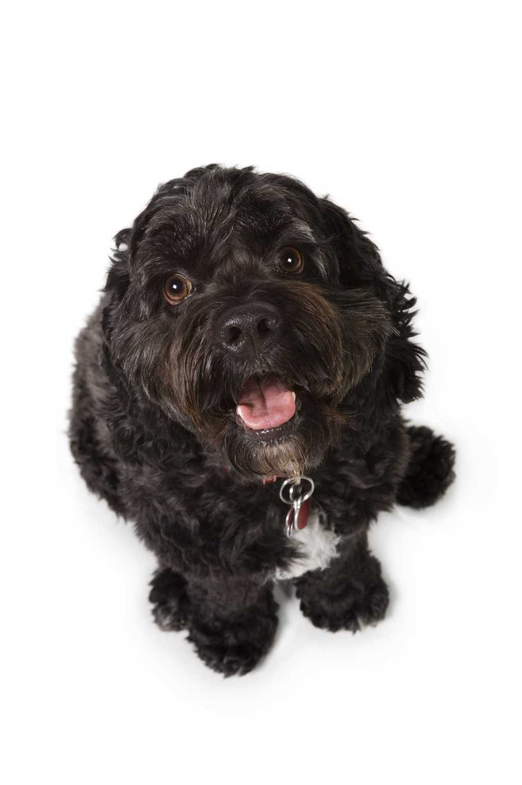 Bichon-Cocker Spaniel dog
