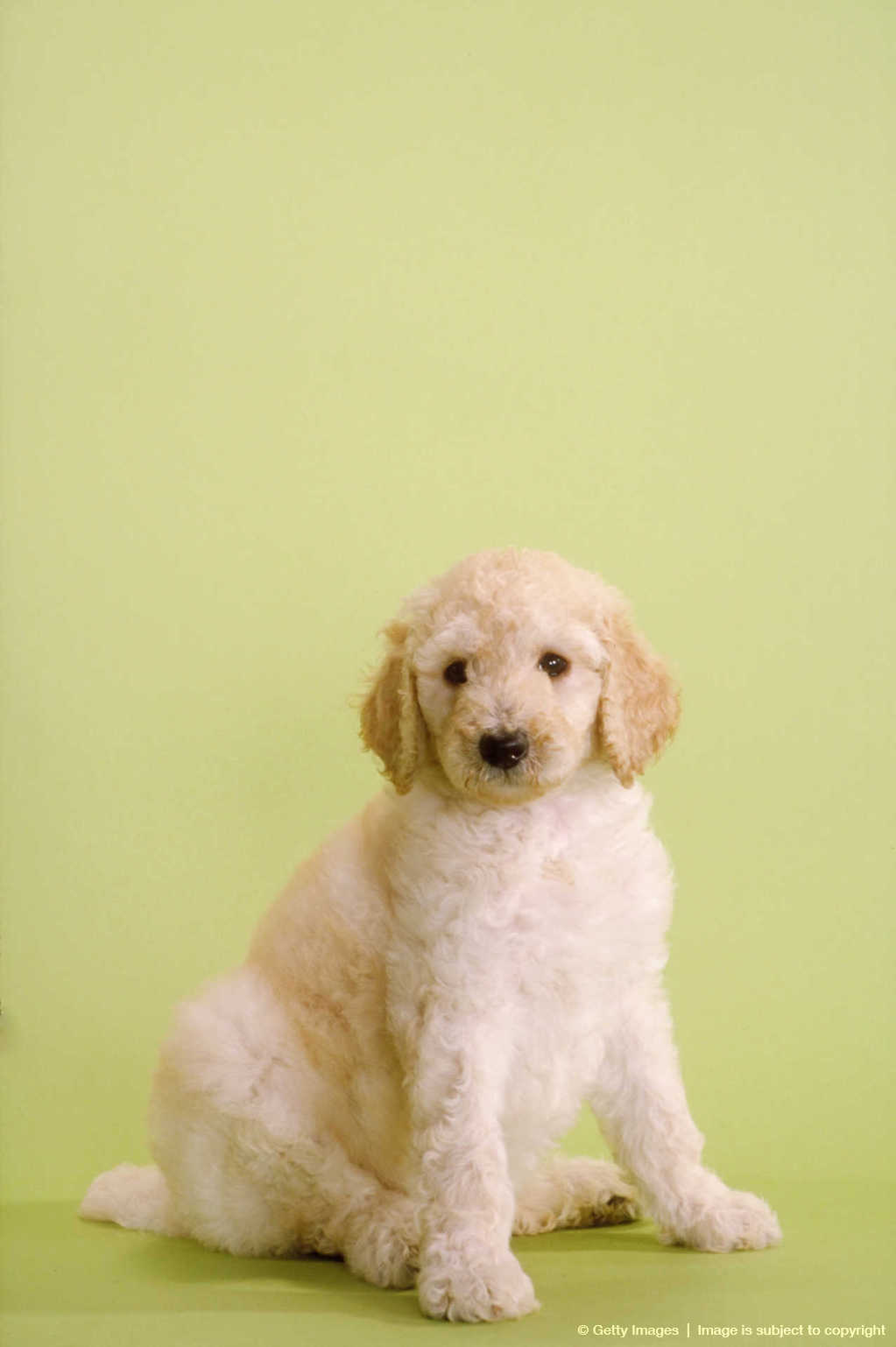 Related Pictures m5x eu yellow lab and golden retriever mix puppies ...