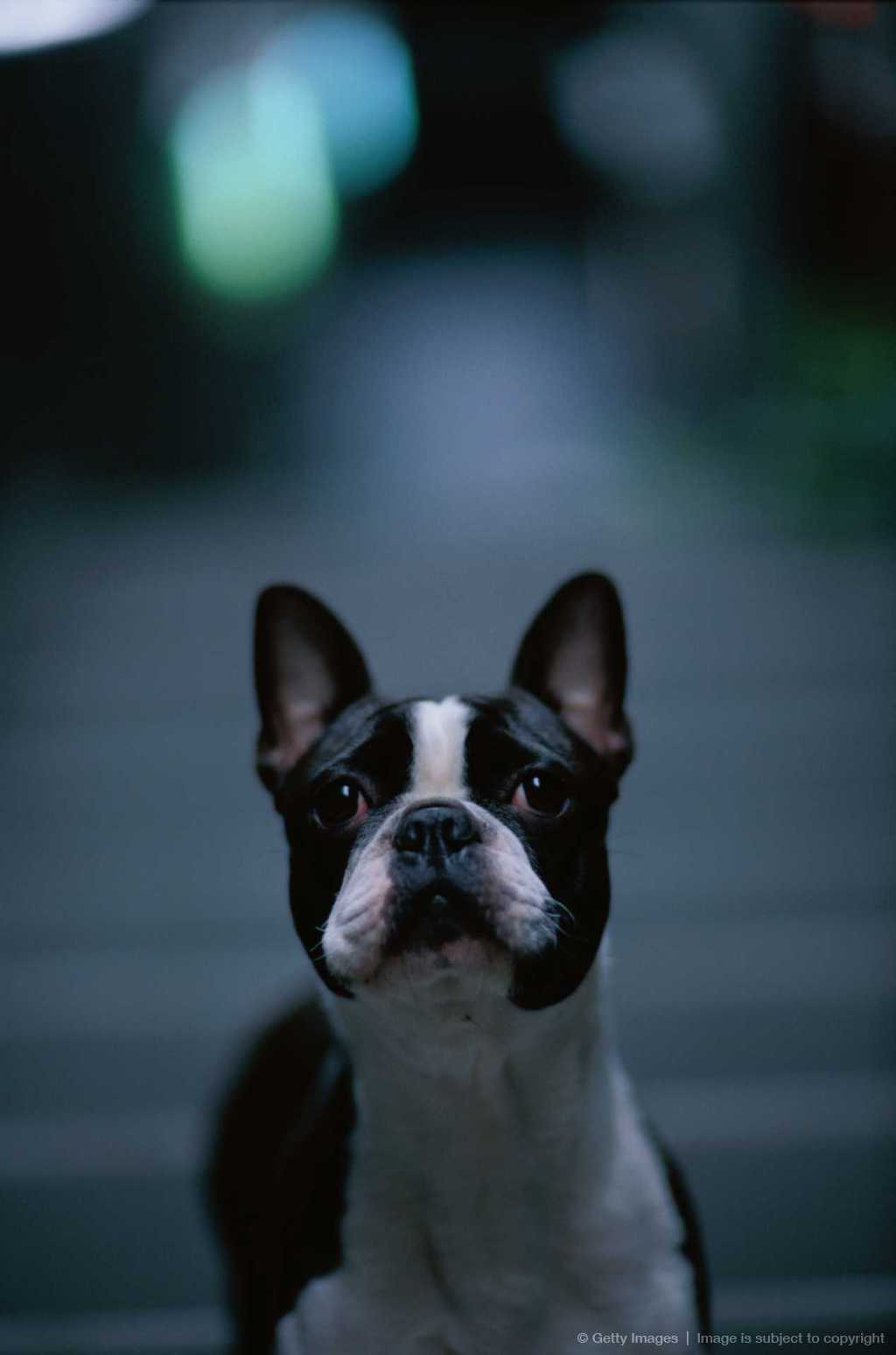 File:Boston Terrier Puppy Zoya.jpg - Wikipedia, the free encyclopedia