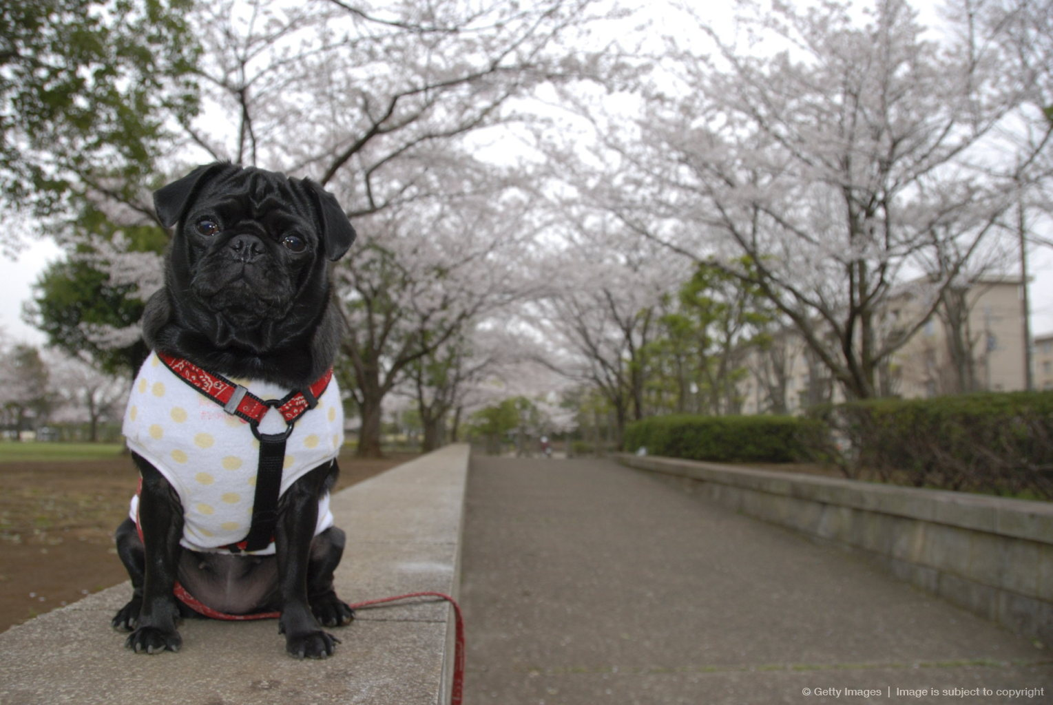 Pug standing with cherry blossoms in the background, Chiba Prefecture, Honshu, Japan