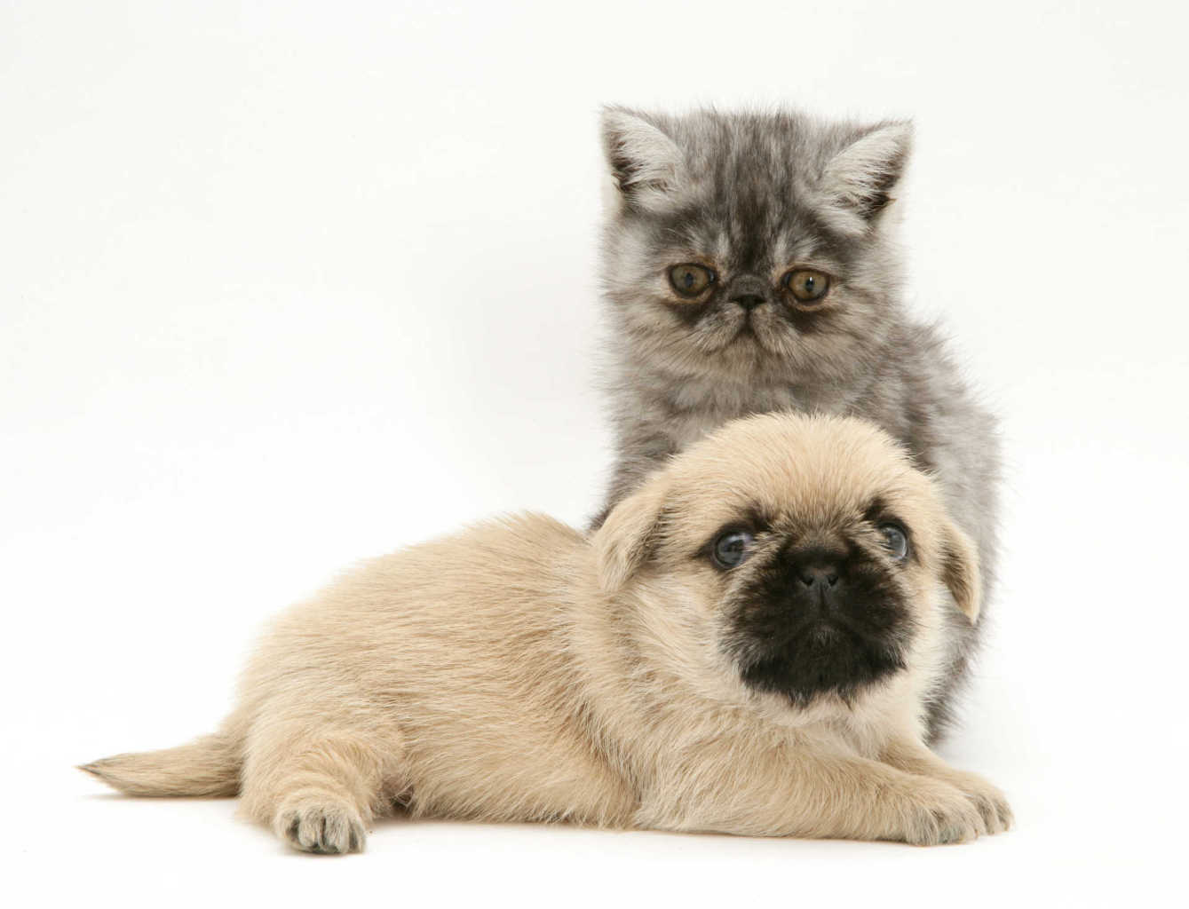 Exotic kitten and Pugzu (Pug x Shih-Tzu) pup.