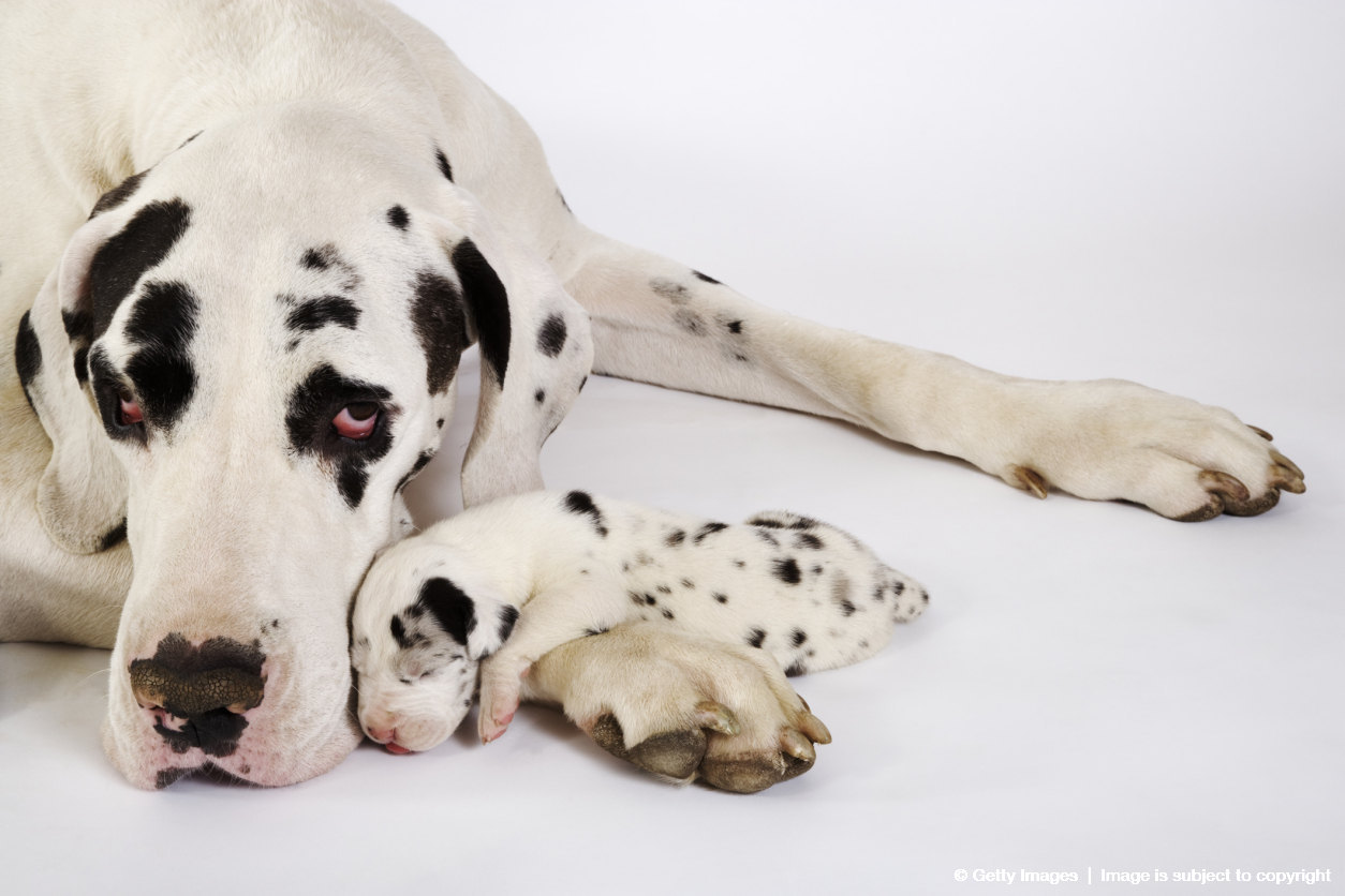 Harlequin Great Dane mother with puppy