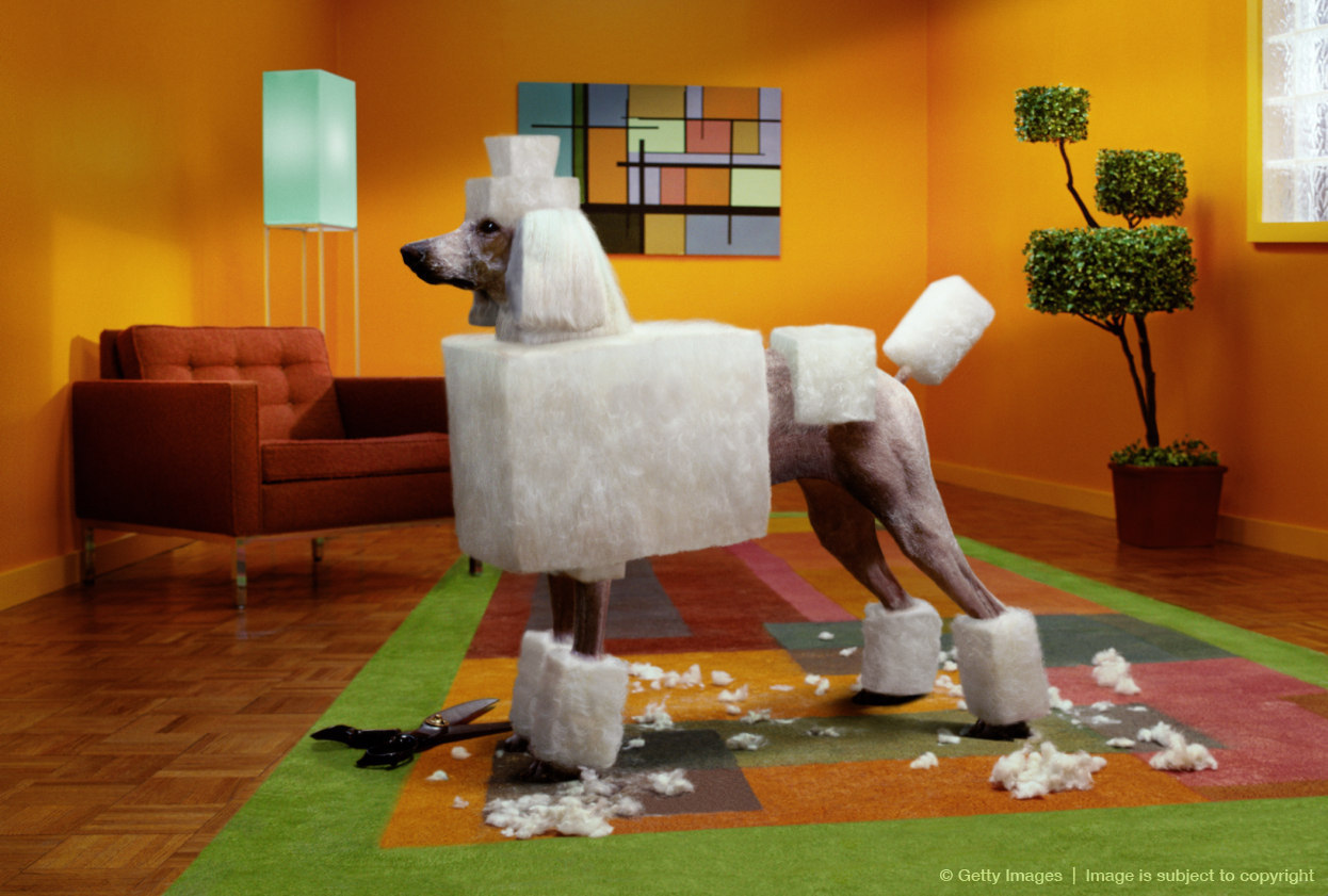 Poodle with geometric haircut, scissors with clippings on floor