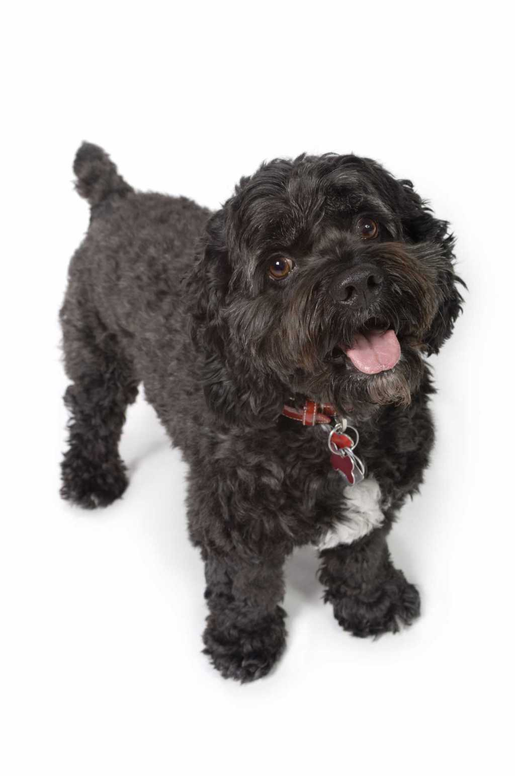 Black Bichon-Cocker Spaniel dog