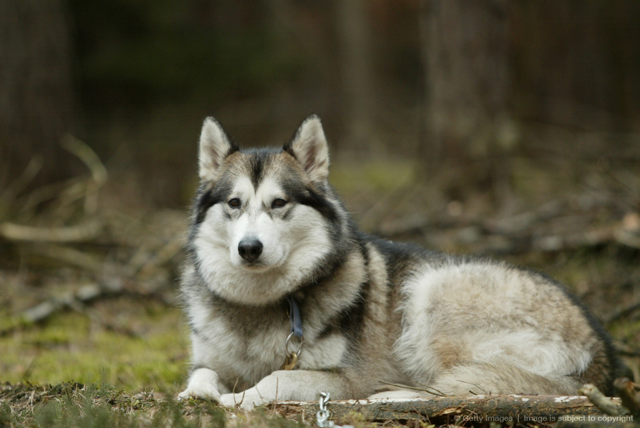 ... Tukai Is 25 Siberian Husky And 75 Timber Wolf | Short News Poster