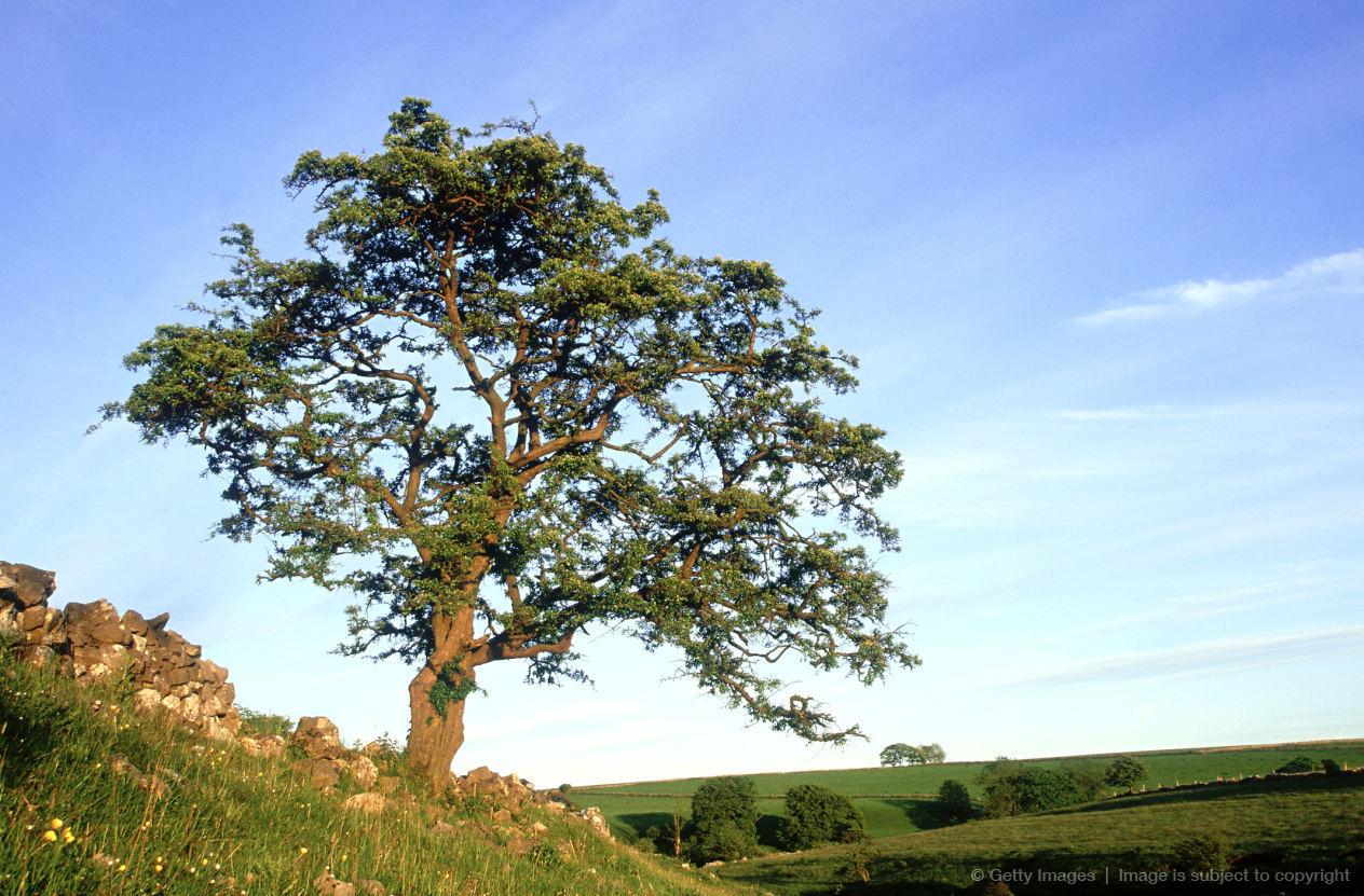 Grinton United Kingdom  City new picture : Hawthorn tree, Crataegus monogyna, single tree in summer, UK