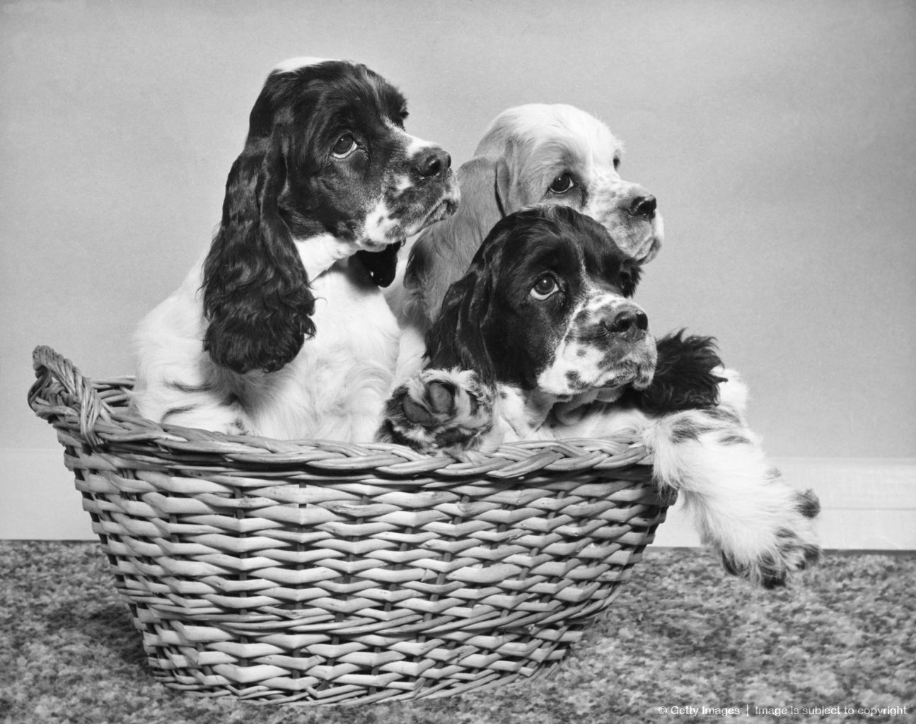 Cocker Spaniel puppies in a basket.